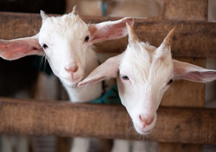 Cute goats that need quality, nutritional goat feed like that from Hueber Feed.