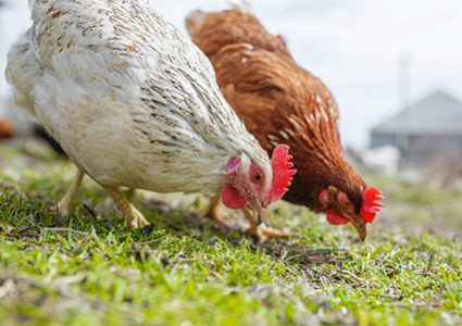 Chickens need quality, nutritional poultry feed like that from Hueber Feed