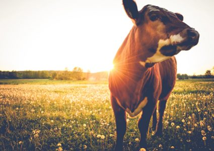 The hueber feed story goes back 30 years with the importance of the health and wellbeing of animals like this cow in field